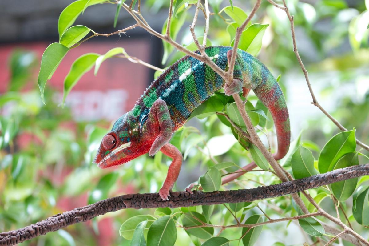 Furcifer pardalis (Camaleón pantera)